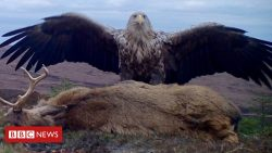 Camera trap snaps eagle with dead stag